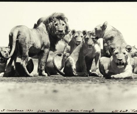 Peter Bear, Pride of Lions