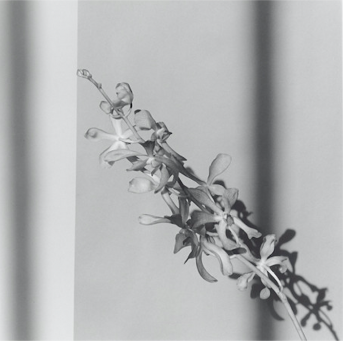Robert Mapplethorpe, Orchid, 1980