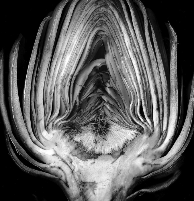 Edward Weston, Artichoke Halved